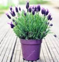 Image of Lavender Plant Product 1