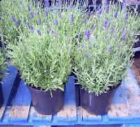 Image of Lavender Plant Product 2