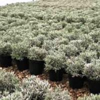 Image of Lavender Plant Product 3