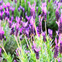 Image of Spanish lavender